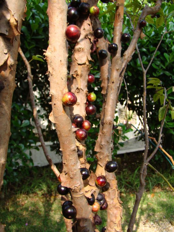 Pomul cu fructe pe trunchi - Jabuticaba