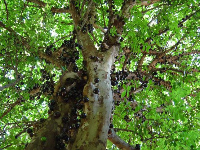 Pomul cu fructe pe trunchi - Jabuticaba - Poza 5