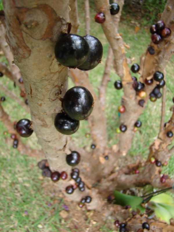 Pomul cu fructe pe trunchi - Jabuticaba - Poza 6