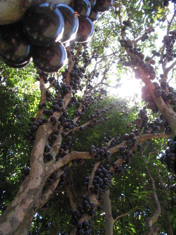 Pomul cu fructe pe trunchi - Jabuticaba - Poza 8