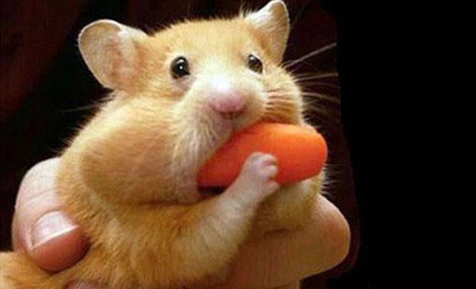 8 hamsteri mancaciosi foc - Poza 1