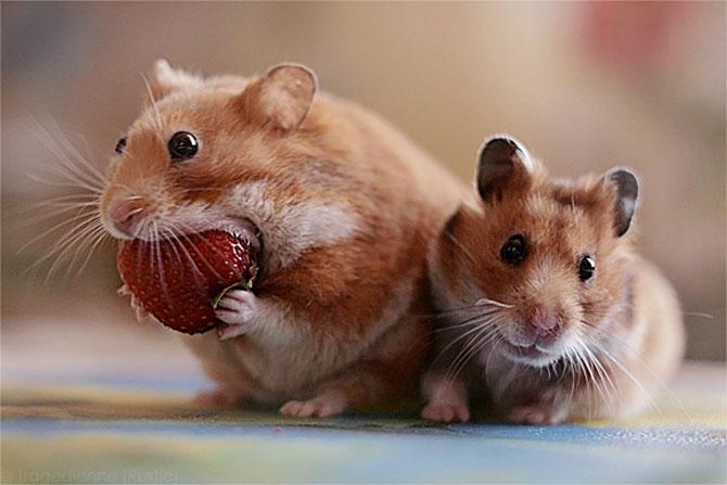 8 hamsteri mancaciosi foc - Poza 3