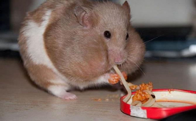 8 hamsteri mancaciosi foc - Poza 4