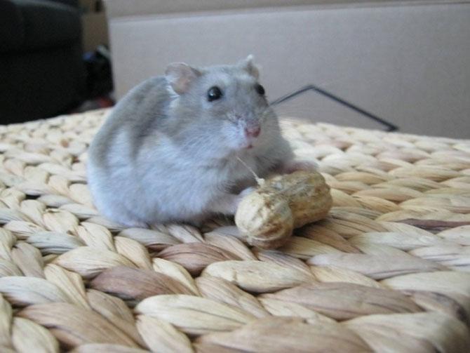 8 hamsteri mancaciosi foc - Poza 6