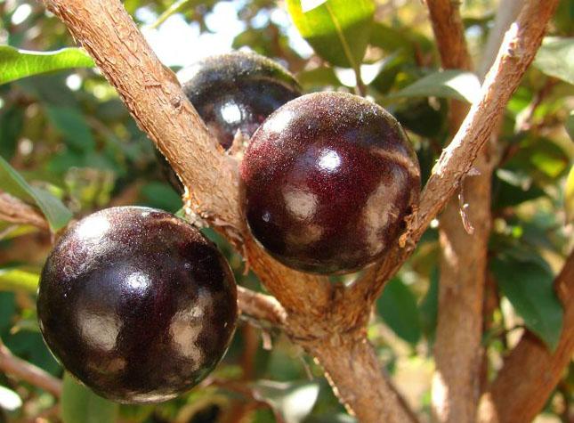 Pomul cu fructe pe trunchi - Jabuticaba - Poza 9