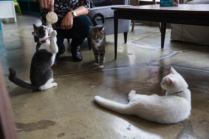 Prima cafenea pentru pisici din SUA - Poza 9