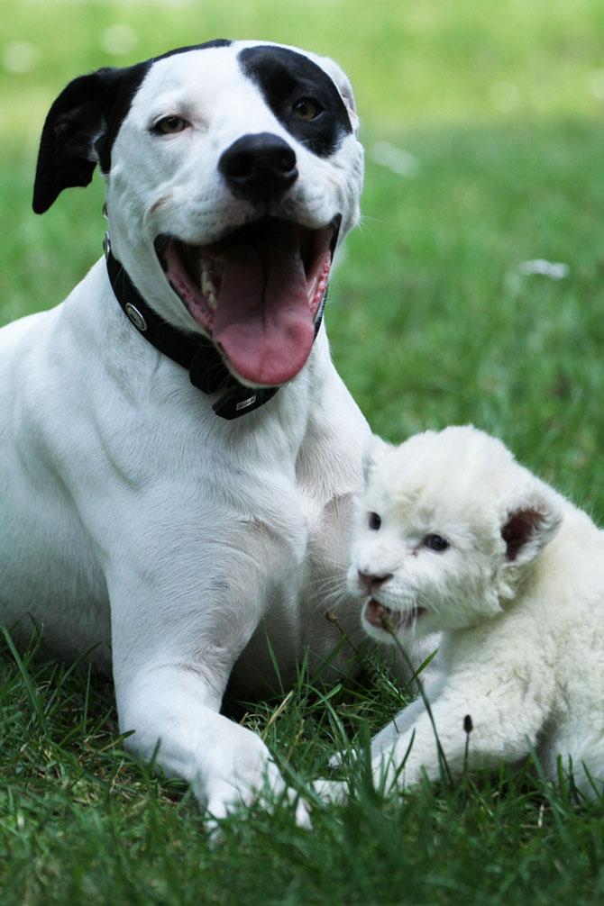 Cainele care a adoptat un pui de leu - Poza 1