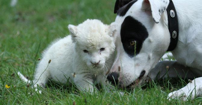 Cainele care a adoptat un pui de leu - Poza 2