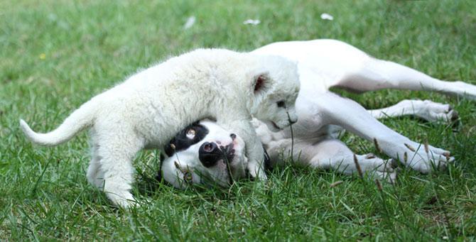 Cainele care a adoptat un pui de leu - Poza 4
