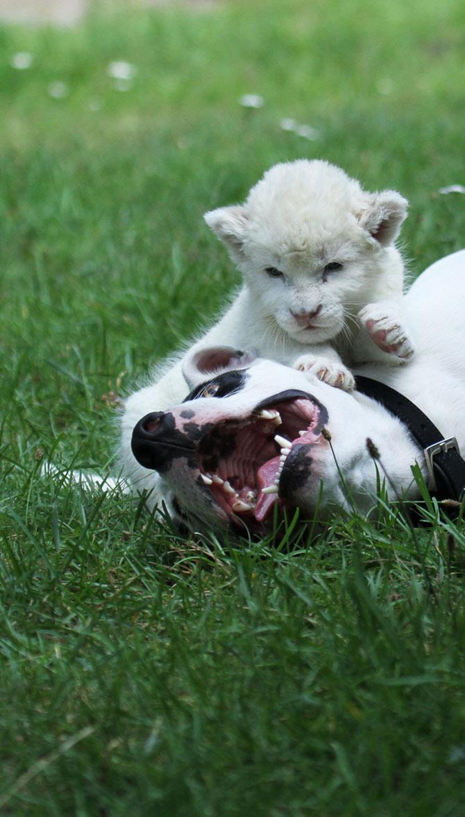 Cainele care a adoptat un pui de leu - Poza 5
