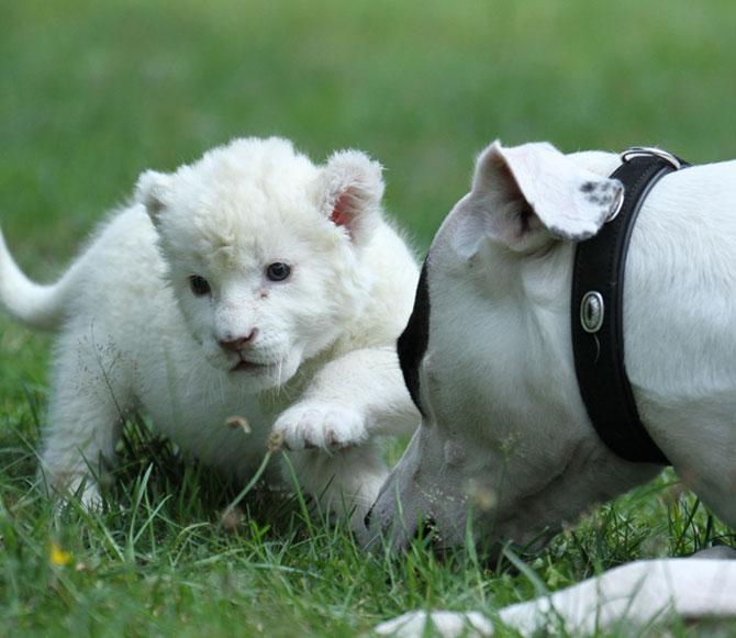 Cainele care a adoptat un pui de leu - Poza 6