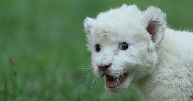 Cainele care a adoptat un pui de leu - Poza 7
