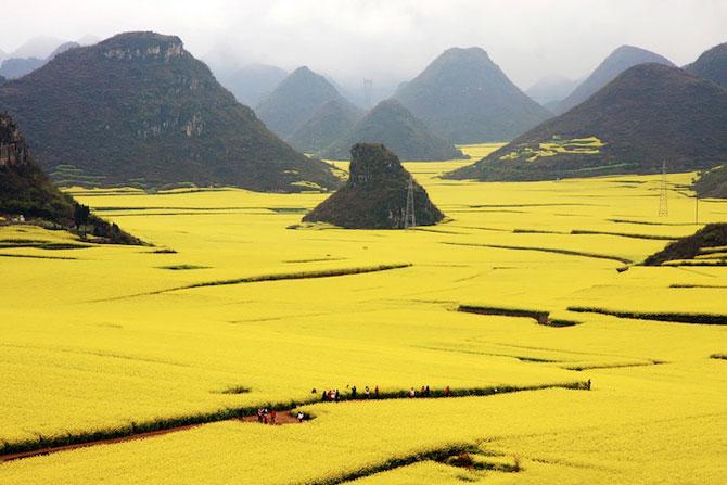 Oceanul de flori galbene din China - Poza 1