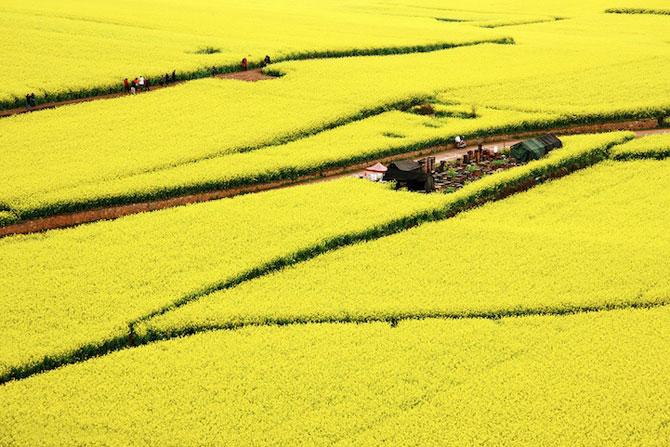 Oceanul de flori galbene din China - Poza 4
