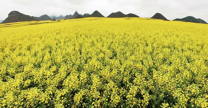 Oceanul de flori galbene din China - Poza 6