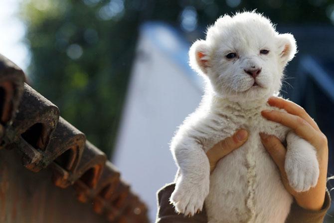 Puiut de leu alb, fotografiat la doar 8 zile - Poza 1