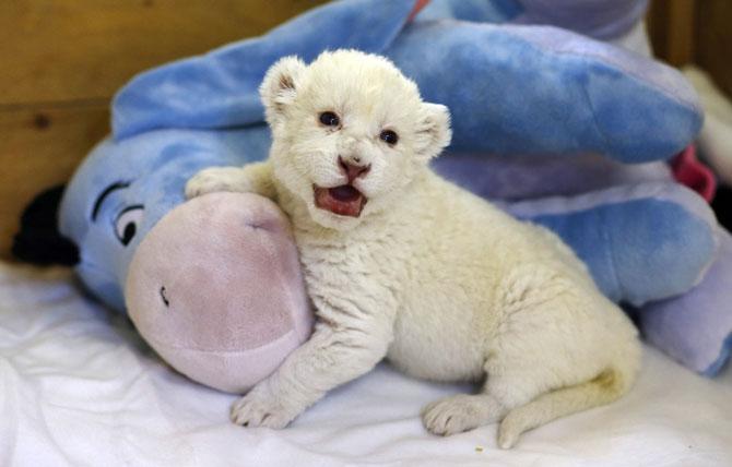 Puiut de leu alb, fotografiat la doar 8 zile - Poza 2
