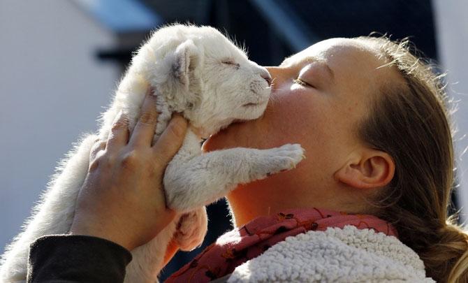 Puiut de leu alb, fotografiat la doar 8 zile - Poza 4