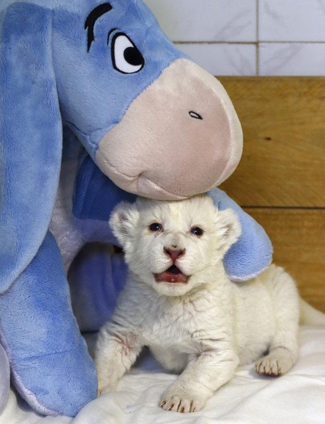 Puiut de leu alb, fotografiat la doar 8 zile - Poza 5