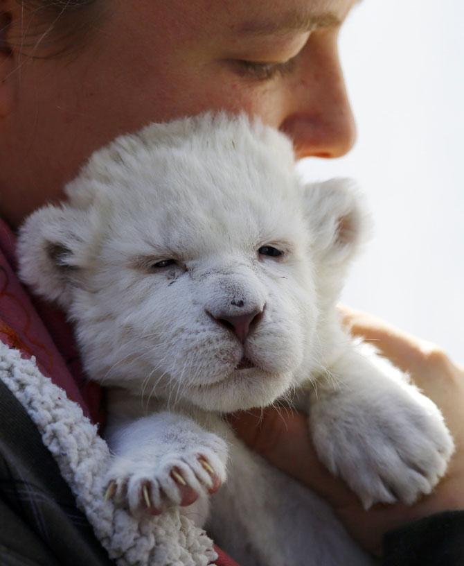 Puiut de leu alb, fotografiat la doar 8 zile - Poza 6