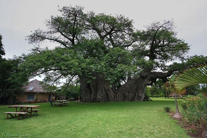 Barul din baobabul batran de 6.000 de ani - Poza 2