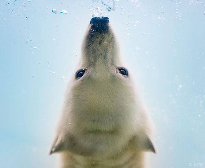 Baletul ursilor polari, de Olga Gladysheva