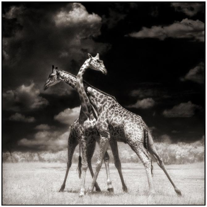 Recurs la Africa, de Nick Brandt - Poza 12