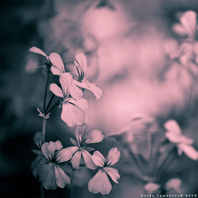 Toate florile lui Guido Tamburro - Poza 2