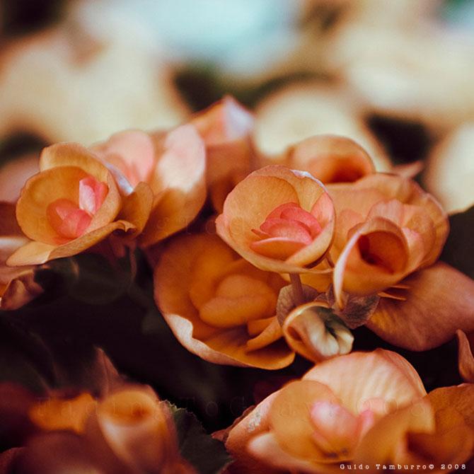 Toate florile lui Guido Tamburro - Poza 4