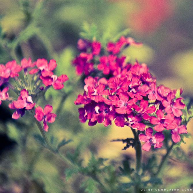 Toate florile lui Guido Tamburro - Poza 6
