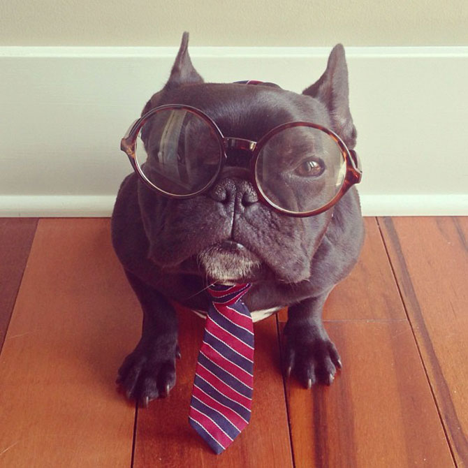 Cel mai simpatic bulldog francez de pe Instagram