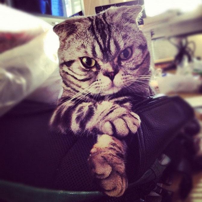 Pisica Shishi e sefa Internetului - Poza 1