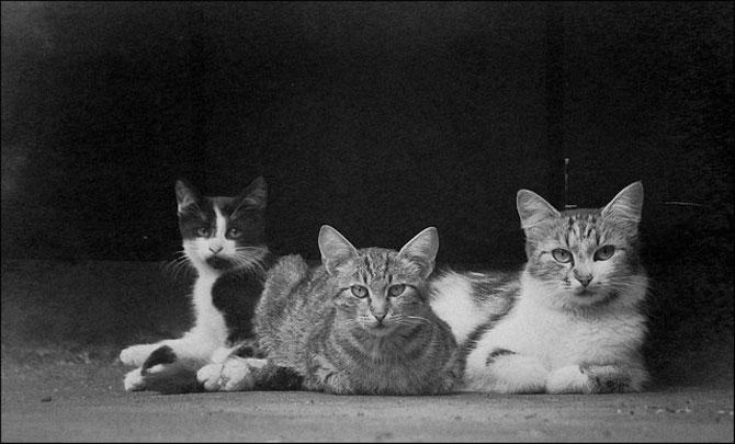 13 pisici alb-negru - Poza 2