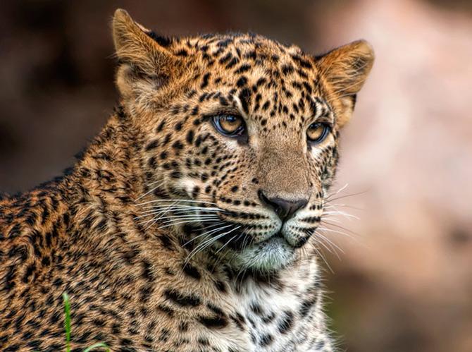 Portret cu uliu, leopard si maimuta de Joaquin Granell - Poza 16