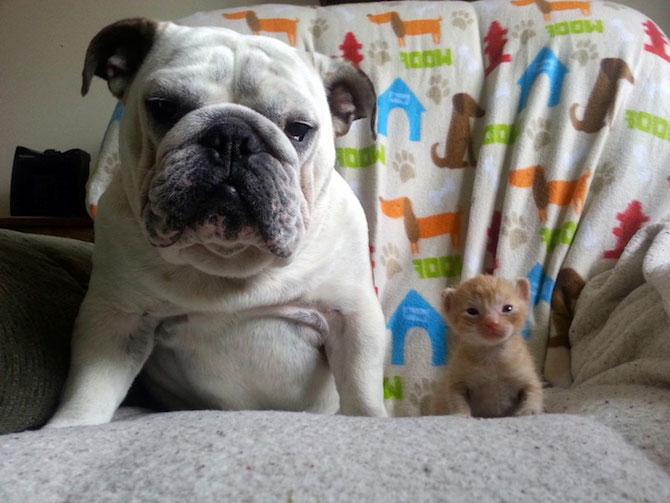 Bulldogul care a adoptat 6 pisici! - Poza 1
