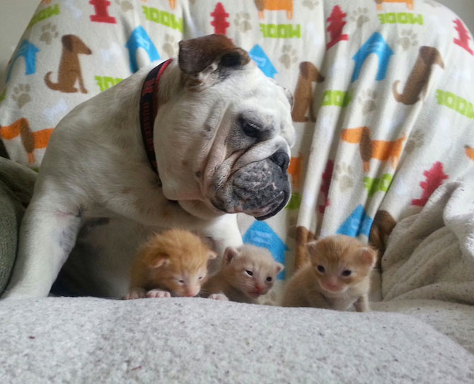 Bulldogul care a adoptat 6 pisici! - Poza 2