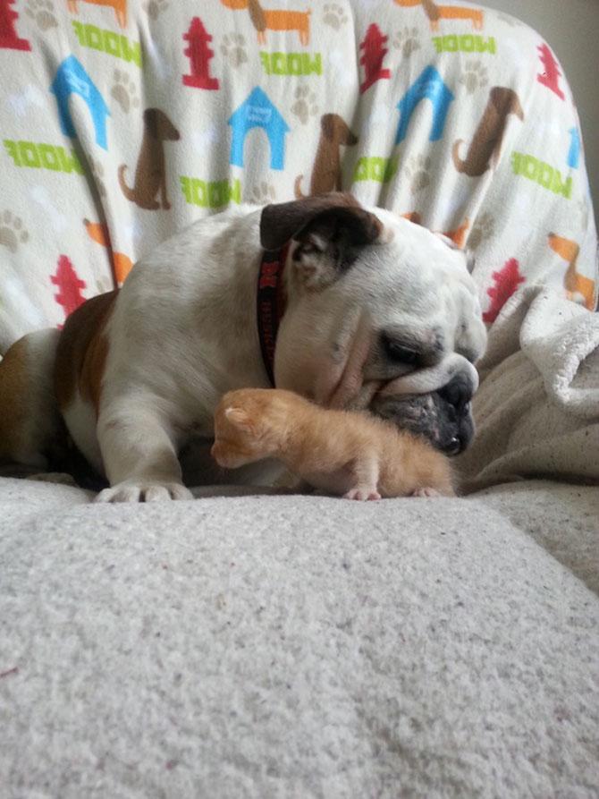 Bulldogul care a adoptat 6 pisici! - Poza 3