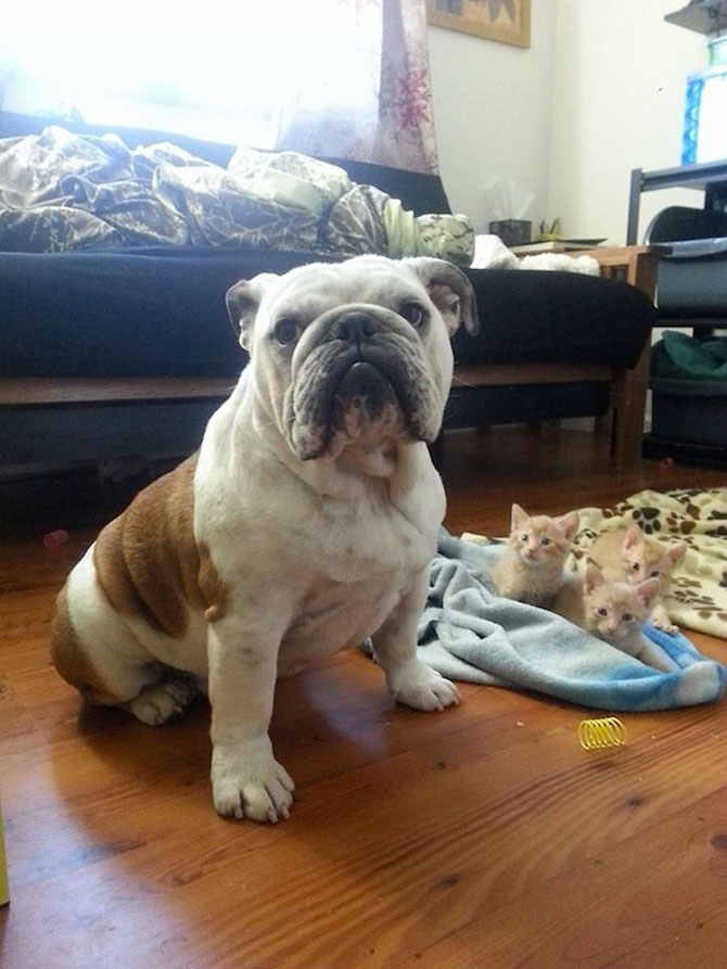 Bulldogul care a adoptat 6 pisici! - Poza 5