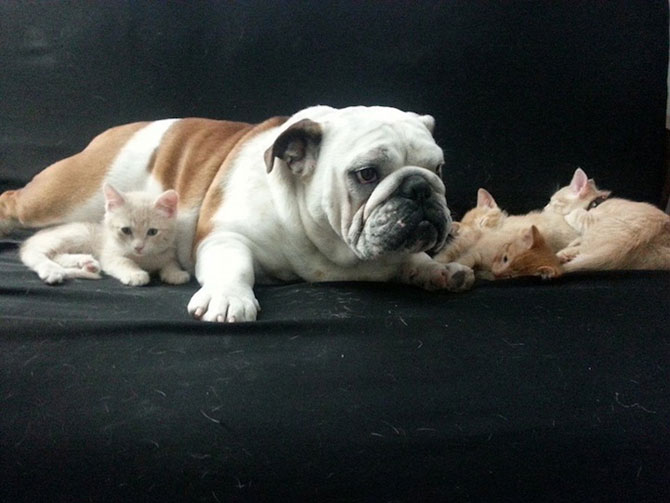Bulldogul care a adoptat 6 pisici! - Poza 6