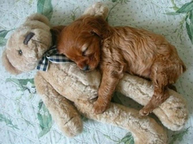 16 pui de catel dorm cu jucariile lor preferate - Poza 1