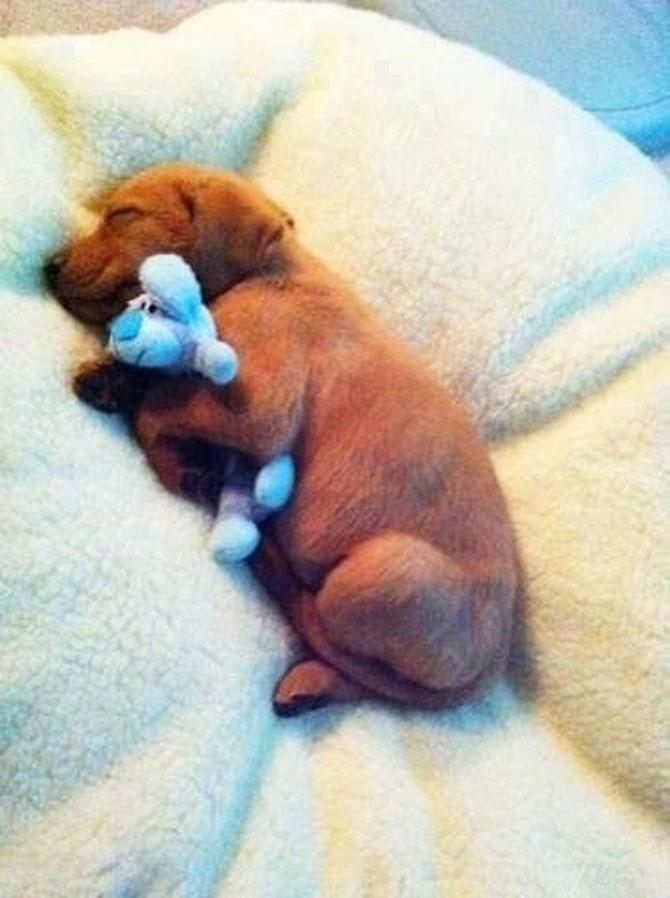 16 pui de catel dorm cu jucariile lor preferate - Poza 6