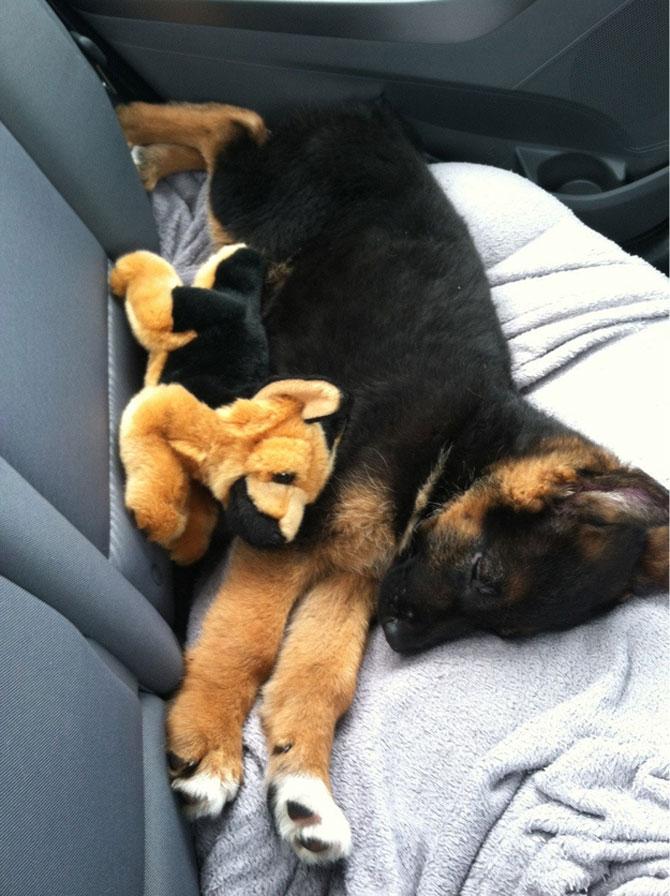 16 pui de catel dorm cu jucariile lor preferate - Poza 8