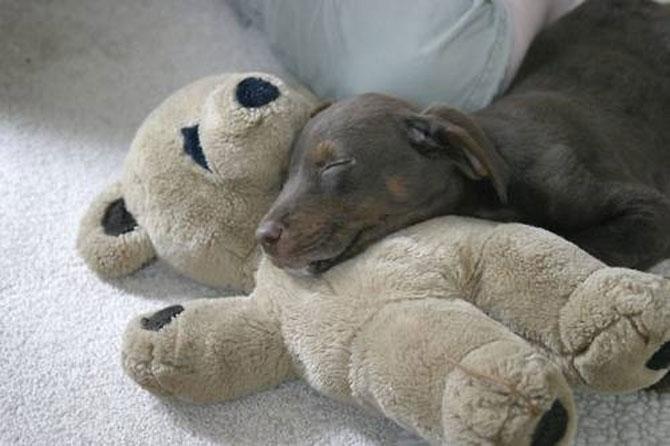 16 pui de catel dorm cu jucariile lor preferate - Poza 11