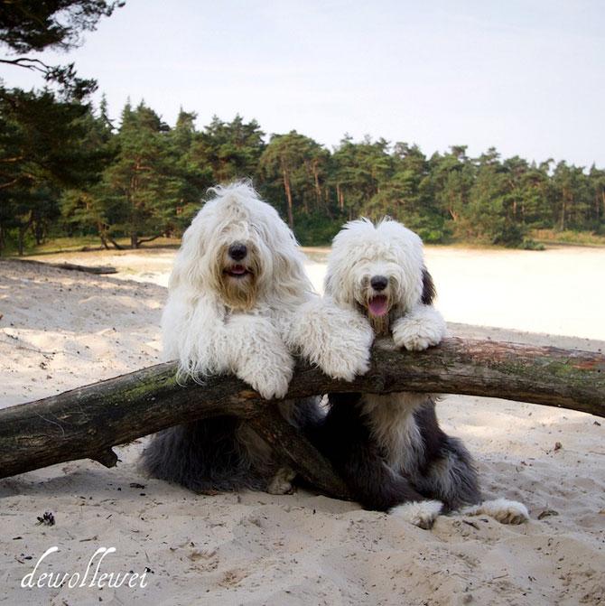 Doi ciobanesti englezi in Tara Lalelelor - Poza 9