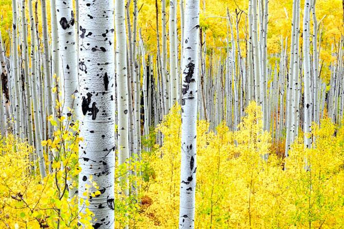 Minunatele culori ale padurilor din Aspen - Poza 5