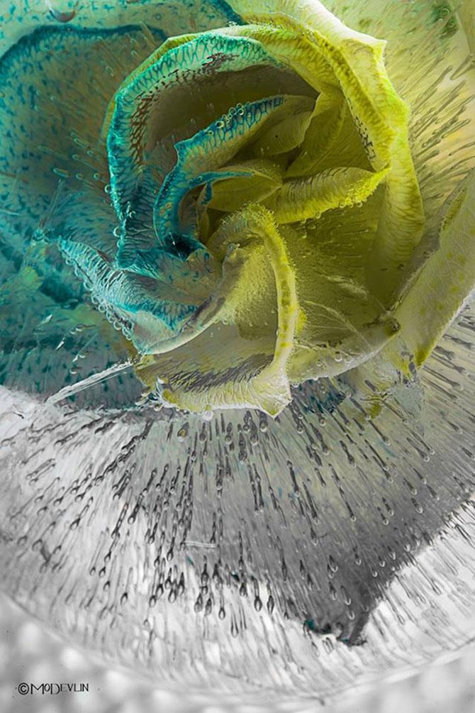 Incredibilele texturi ale florilor inghetate - Poza 5