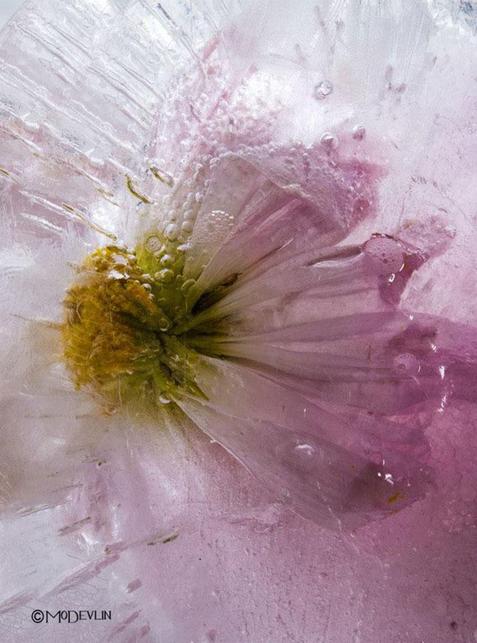 Incredibilele texturi ale florilor inghetate - Poza 9