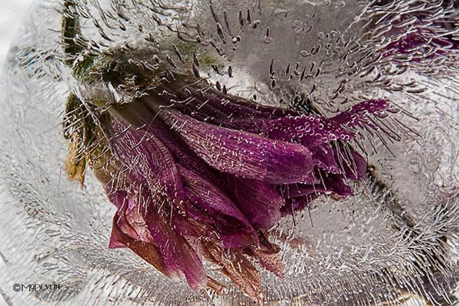 Incredibilele texturi ale florilor inghetate - Poza 10