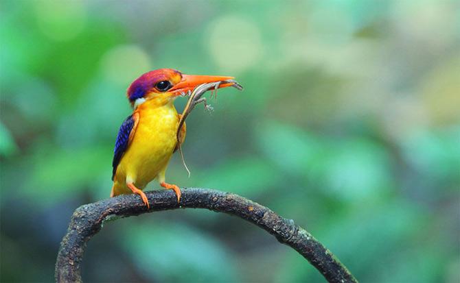 Triluri thailandeze multi-colore - Poza 1