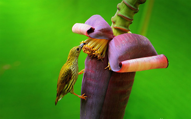 Triluri thailandeze multi-colore - Poza 5
